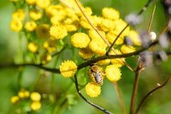 Simulans de Colletes o abeja del yesero Imagenes de archivo