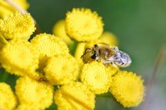 Simulans de Colletes o abeja del yesero Imagen de archivo libre de regalías
