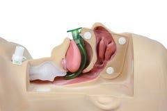 Simulazione medica che prepara vie respiratorie orofaringee su una parte posteriore di bianco Fotografia Stock