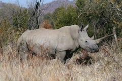 simum носорога ceratotherium стоковое фото
