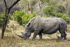 白犀属犀牛simum白色 免版税图库摄影