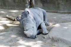 睡觉白犀牛(白犀属simum) 免版税图库摄影