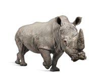 白犀属充电的犀牛simum白色 库存照片