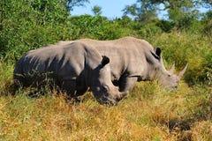 白犀属犀牛simum白色 免版税库存照片