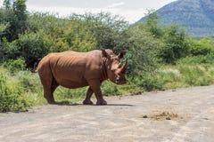 Simum Ceratotherium белого носорога Стоковые Фото