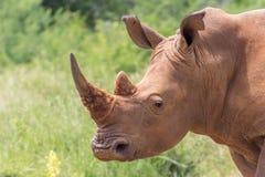 Simum Ceratotherium белого носорога Стоковое Фото