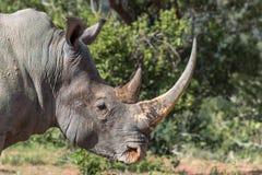 Simum Ceratotherium белого носорога Стоковое Изображение RF