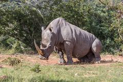 Simum Ceratotherium белого носорога Стоковая Фотография RF