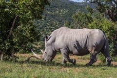 Simum del Ceratotherium del rinoceronte blanco Imágenes de archivo libres de regalías