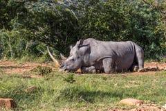 Simum del Ceratotherium del rinoceronte blanco Fotos de archivo
