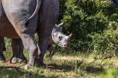 Simum del Ceratotherium del rinoceronte blanco Fotos de archivo libres de regalías