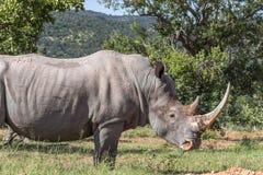 Simum del Ceratotherium del rinoceronte blanco Imagen de archivo