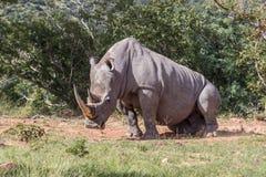 Simum del Ceratotherium del rinoceronte blanco Fotografía de archivo libre de regalías