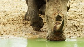 Simum del Ceratotherium del rinoceronte blanco del rinoceronte con imagenes de archivo
