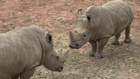 Simum del sud di simum del Ceratotherium del rinoceronte bianco Animale della fauna selvatica Specie animali criticamente pericol video d archivio