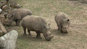 Simum del sud di simum del Ceratotherium del rinoceronte bianco Animale della fauna selvatica Specie animali criticamente pericol archivi video