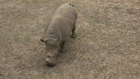 Simum del sud di simum del Ceratotherium del rinoceronte bianco Animale della fauna selvatica Specie animali criticamente pericol stock footage