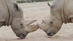 Simum del sud di simum del Ceratotherium del rinoceronte bianco Specie animali criticamente pericolose video d archivio