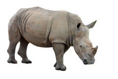 Simum do Ceratotherium Imagens de Stock Royalty Free