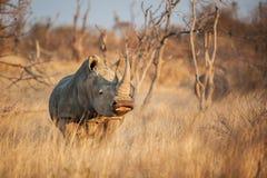 Simum do Ceratotherium do rinoceronte branco Fotos de Stock Royalty Free