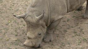 Simum do sul do simum do Ceratotherium do rinoceronte branco Animal dos animais selvagens Esp?cie animal criticamente posta em pe filme