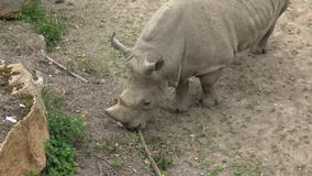 Simum do sul do simum do Ceratotherium do rinoceronte branco Animal dos animais selvagens Esp?cie animal criticamente posta em pe vídeos de arquivo