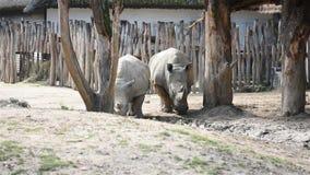 Simum latino del simum del Ceratotherium del nombre de dos rinocerontes cerca del lago Vida animal africana en Kenia, África almacen de metraje de vídeo