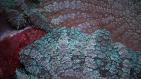 Sinónimo Actinodiscus de Discosoma, conocido comúnmente como anémona de la seta, coral de seta o anémona del disco almacen de video