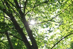 Sun through green tree leaves royalty free stock photography