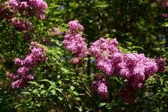 Sin este árbol floreciente en la primavera con un olor muy fuerte y agradable que esclaviza nuestros sentidos del olfato Foto de archivo libre de regalías