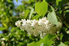 Sin este árbol floreciente en la primavera con un olor muy fuerte y agradable que esclaviza nuestros sentidos del olfato Fotos de archivo libres de regalías