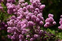 Sin este árbol floreciente en la primavera con un olor muy fuerte y agradable que esclaviza nuestros sentidos del olfato Fotos de archivo