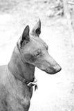 Sin pelo mexicano, Xoloitzcuintli Foto de archivo libre de regalías