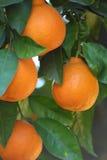 Sinaasappel Royalty-vrije Stock Foto