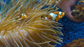 Sinaasappel clownfish in de anemoon stock videobeelden