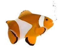 Sinaasappel clownfish - occelaris Amphiprion Stock Afbeeldingen
