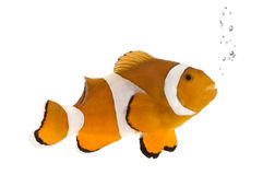 Sinaasappel clownfish - occelaris Amphiprion Royalty-vrije Stock Foto's