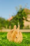 Sinaasappel die bunnie gras in werf eten Stock Fotografie