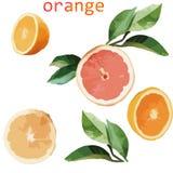 Sinaasappel en van de bladerenillustratie Sinaasappel en bladerenillustratie vector illustratie