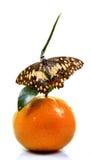 Sinaasappel en vlinder Stock Afbeeldingen