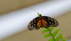 Sinaasappel en zwarte, de vlinder van Tiger Longwing Heliconius hecale royalty-vrije stock foto's