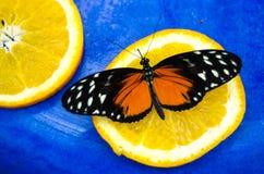 Sinaasappel en zwarte, de vlinder van Tiger Longwing Heliconius hecale royalty-vrije stock foto