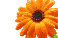 Sinaasappel gerber royalty-vrije stock afbeeldingen