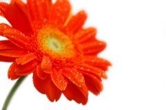 Sinaasappel gerber Stock Afbeelding