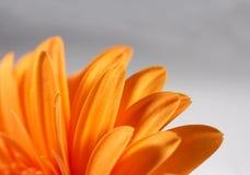 Sinaasappel gerber Royalty-vrije Stock Foto