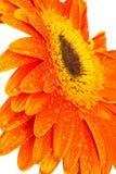 Sinaasappel gerber Royalty-vrije Stock Afbeelding