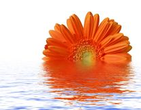 Sinaasappel gerber bij waterspiegel Royalty-vrije Stock Foto's