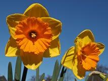 Sinaasappel gevulde bloeiende gele narcissen royalty-vrije stock afbeelding