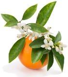 Sinaasappel met bloemen Stock Afbeeldingen