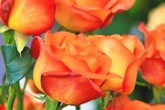 Sinaasappel met rode rozen Stock Foto's